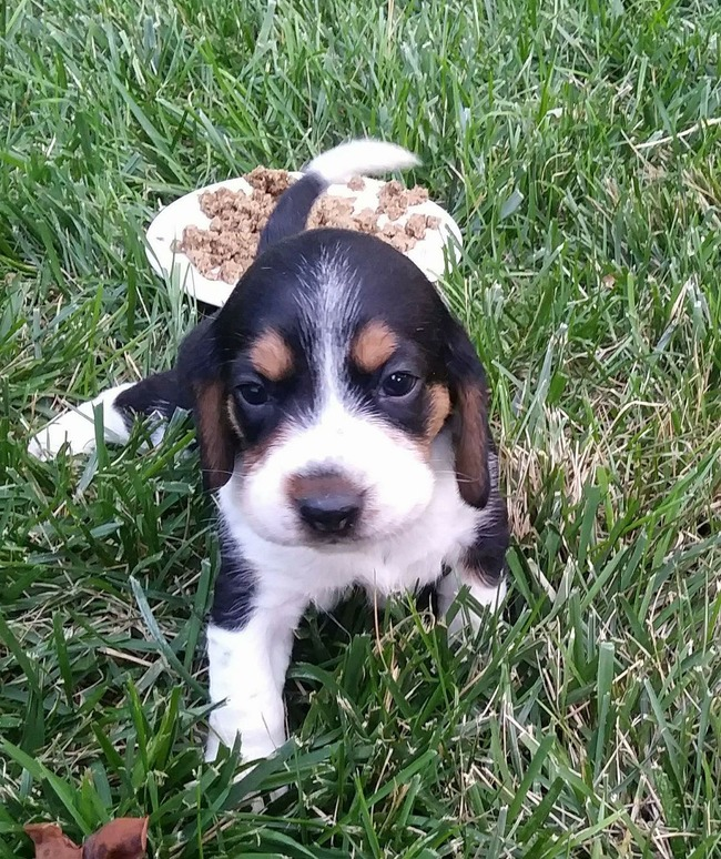 Sammie the Beagle